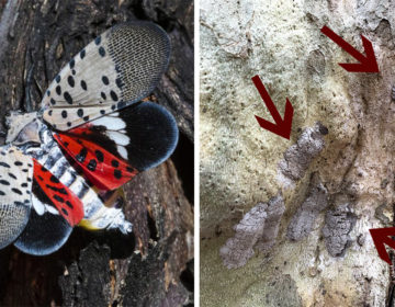 To stop lanternflies before they're full-grown, scrape off their eggs AP IMAGES / @VCMCGUIRE