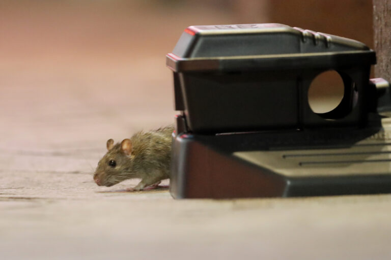 A rodent walks around a device with poisonous bait on Bourbon Street in New Orleans, Monday, March 23, 2020. Complicating New Orleans' fight against the new coronavirus spread, rats and mice are abandoning their hiding places in walls and rafters of shuttered businesses and venturing outside. (AP Photo/Gerald Herbert)