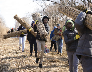 High school students volunteering with Mobilize Green harvest the invasive Phragmites reed at John Heinz National Wildlife Refuge at Tinicum on February 8, 2020. The harvesting session, called Phrag Fest, kicks off an ecological art project by artist Sarah Kavage (not pictured). (Rachel Wisniewski for WHYY)
