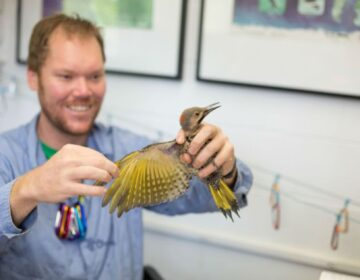 Luke DeGroote holds a Northern Flicker in 2017. Bird banding is currently on hold during the shutdown. (Powerdermill Nature Reserve)