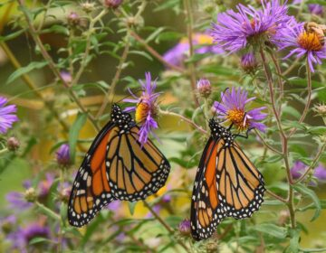 Monarch butterflies in the University of Delaware Botanical Garden in Newark, Del. (Douglas Tallamy/Timber Press via AP)