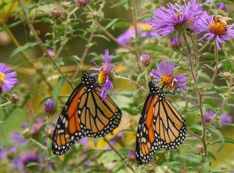 Monarch butterflies in the University of Delaware Botanical Garden in Newark, Del. (Douglas Tallamy/Timber Press via AP)