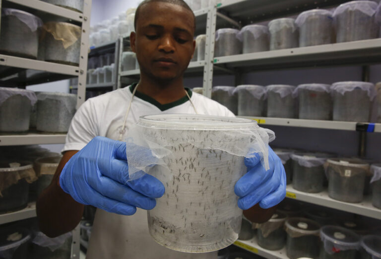 After years of debate, British biotech company Oxitec has received federal approval to test its genetically modified mosquitoes — which are designed to reduce the local Aedes aegypti population — in the Florida Keys. (AP Photo/Andre Penner)