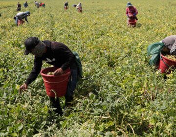 Farmworkers harvest beans