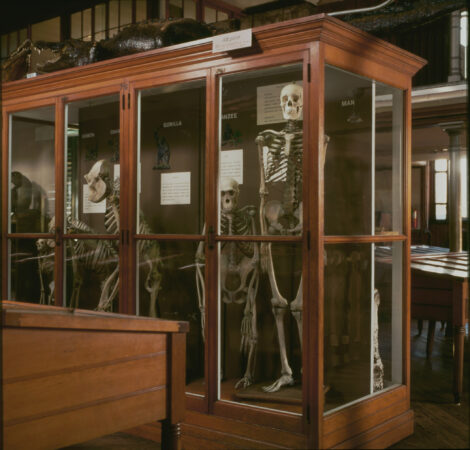 A case displaying human and primate skeletons (Tom Crane/The Wagner Free Institute of Science)