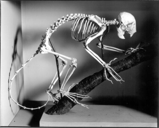 Skeleton of an aye-aye lemur (John Woodin/The Wagner Free Institute of Science)