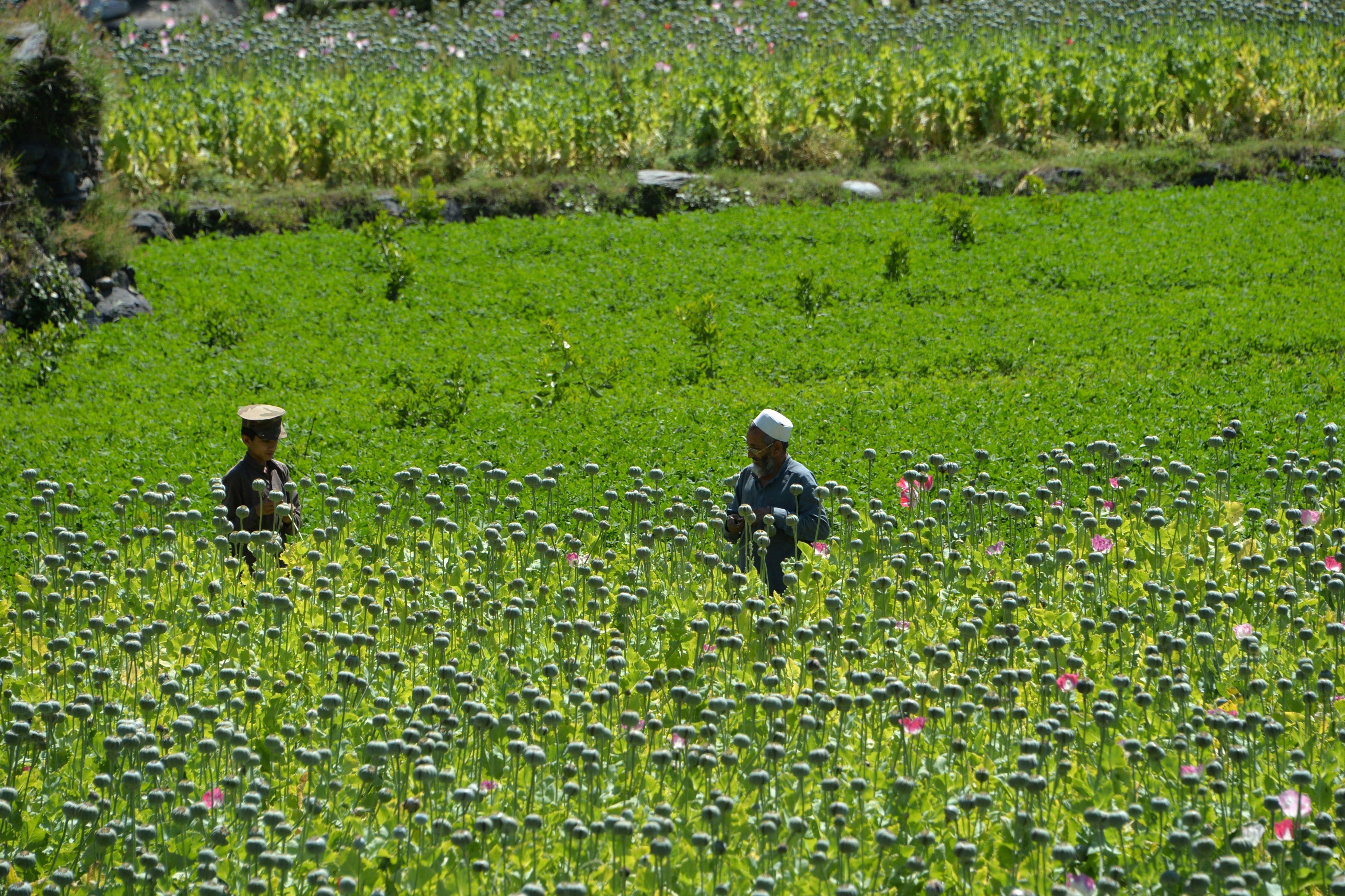 Farmers harvest opium sap from a poppy field