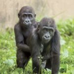 Philadelphia Zoo gorillas