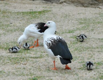 Philadelphia Zoo Andean geese