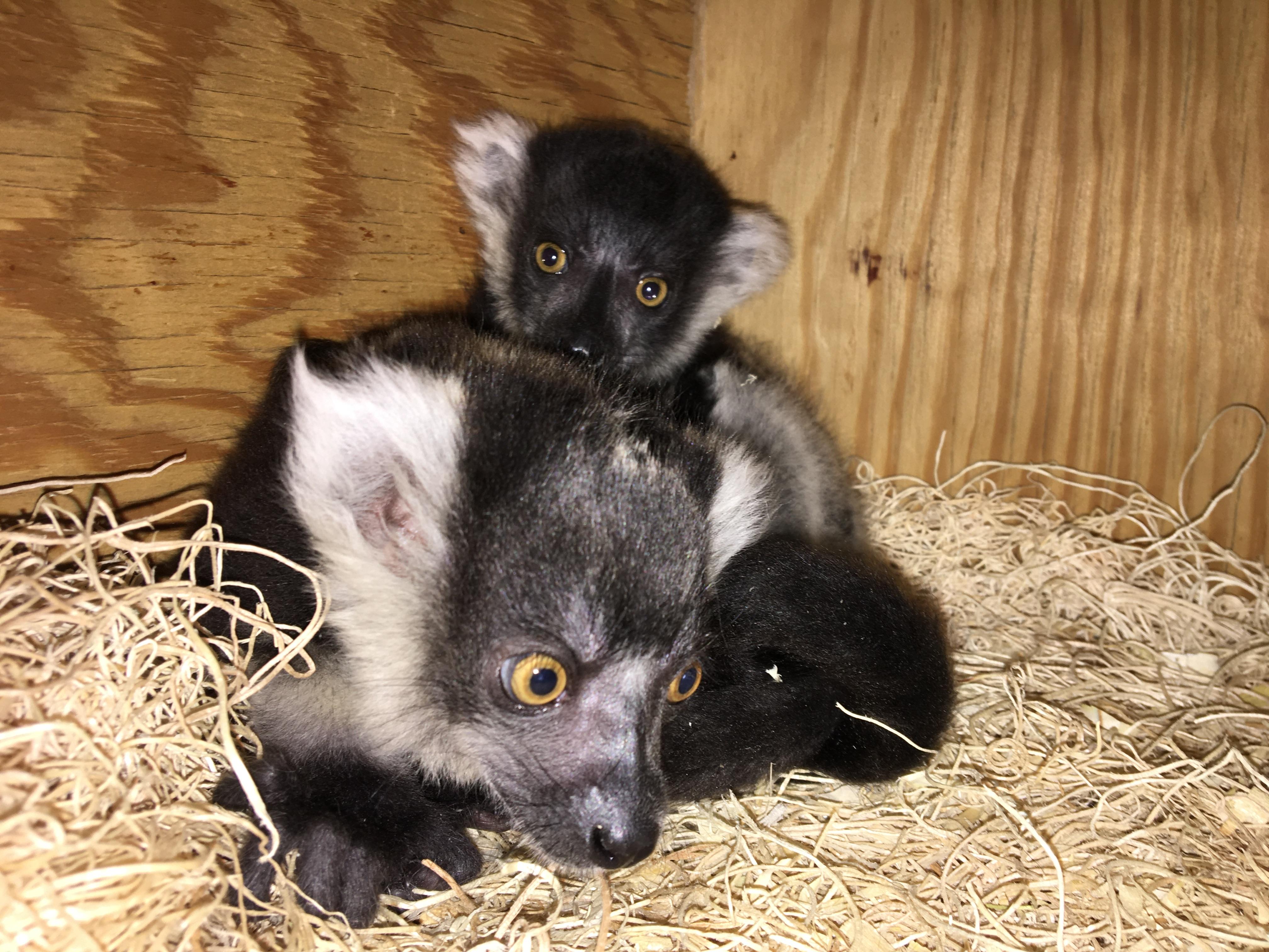 Philadelphia Zoo lemurs
