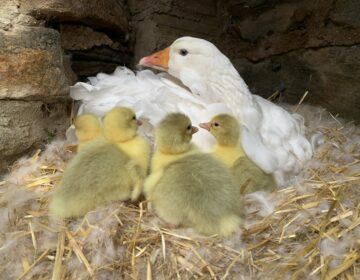 Philadelphia Zoo Sebastopol goslings