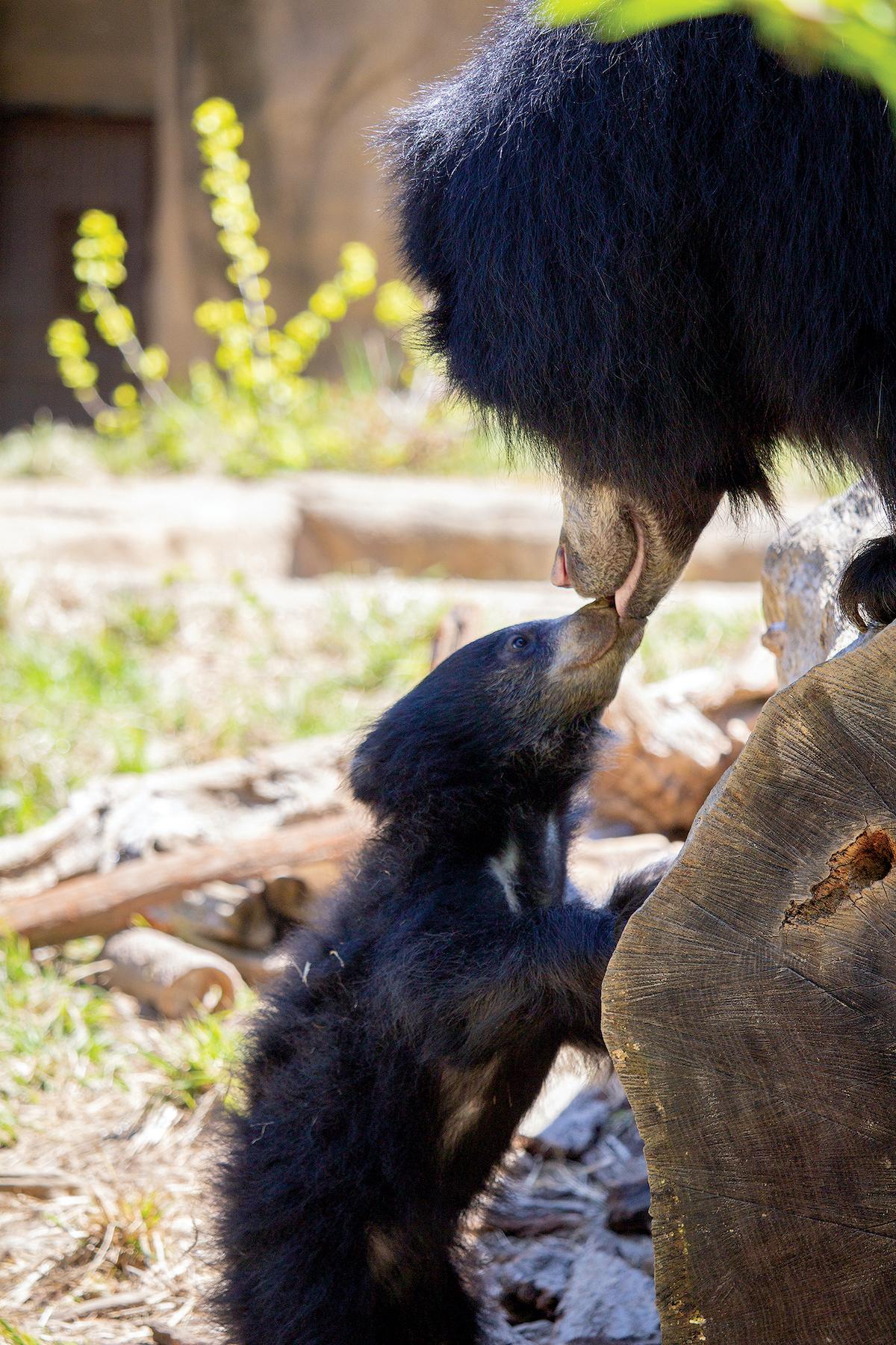 Philadelphia Zoo sloth bear cub and mom