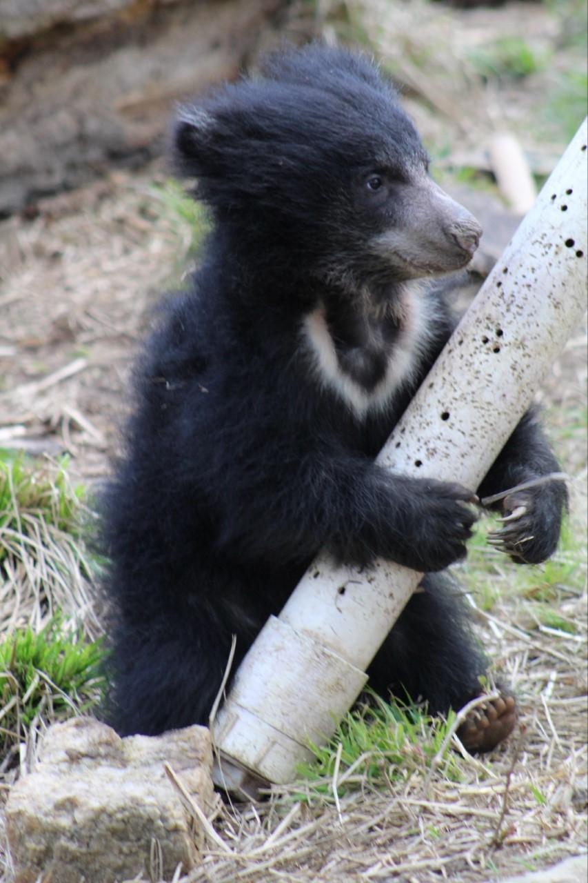 Philadelphia Zoo sloth bear cub Keematee