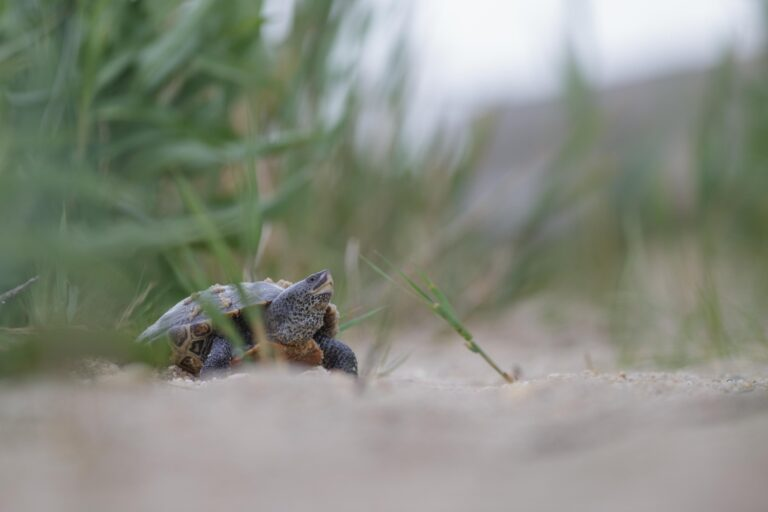 A northern diamondback terrapin