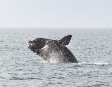 A North Atlantic right whale. (Courtesy of NOAA)