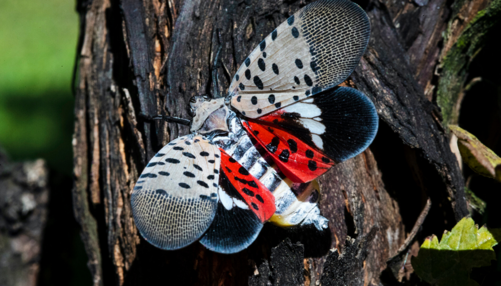 A closeup of a spotted lanternfly