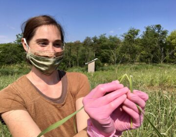 Penn State doctoral student Stephanie Herbstritt shows the hairy ligule in switchgrass that's growing on a Penn State research plot in Centre County. (Anne Danahy/StateImpact Pennsylvania)
