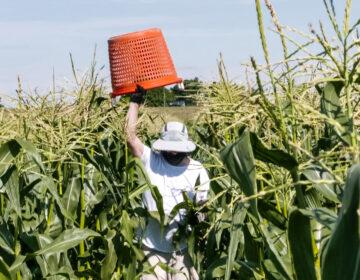 A farmer lifts a red basket over his head as he walks through a corn field