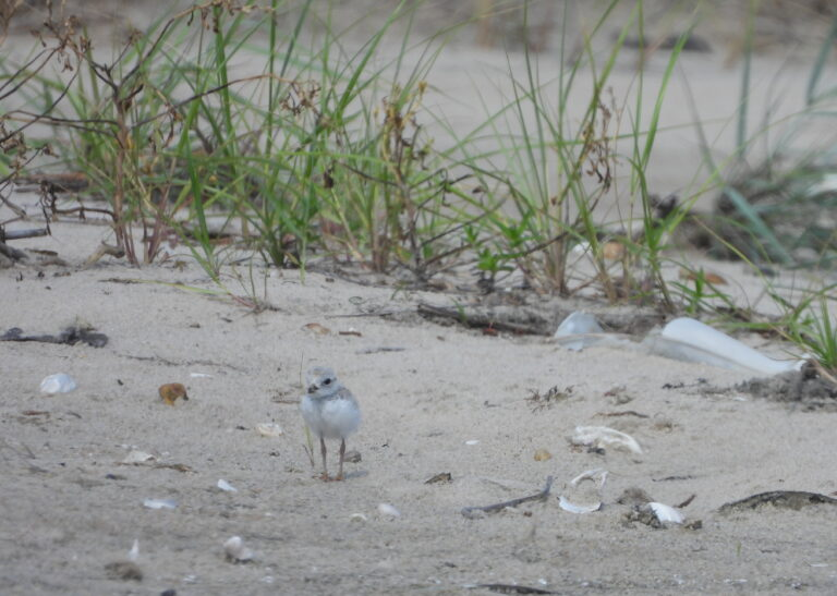 More than 50 piping plover chicks like this 18-day-old bird were born along Delaware's beaches this year, well above the long-term species recovery goal. (photo courtesy DNREC/Evangelin Von Boeckman)