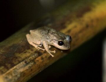 A small tan coquí frog sits on a tree branch in the dark