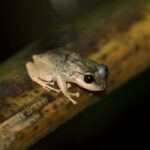 A coqui frog sits on a tree branch in El Yunque rainforest in Caimito, Puerto Rico