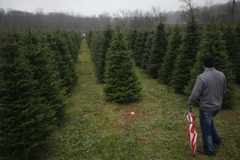 In this Nov. 28, 2015, file photo, Tommy Lawson looks out into rows of Christmas trees as his family browses for their tree at the John T Nieman Nursery in Hamilton, Ohio. (AP Photo/John Minchillo)