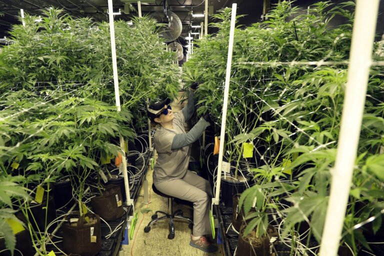 In this March 22, 2019, file photo, Heather Randazzo, a grow employee at Compassionate Care Foundation's medical marijuana dispensary, trims leaves off marijuana plants in the company's grow house in Egg Harbor Township, N.J. (AP Photo/Julio Cortez)