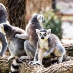 A group of lemurs at the Brandywine Zoo