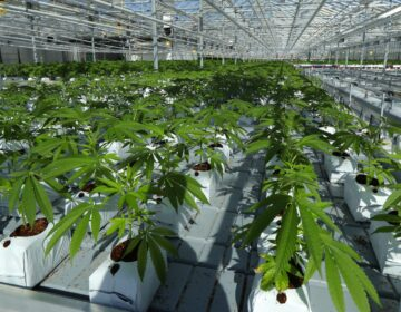 FILE PHOTO: In this Sept. 25, 2018 file photo, marijuana plants grow in a tomato greenhouse being renovated to grow pot in Delta, British Columbia. (Ted S. Warren / The Associated Press)