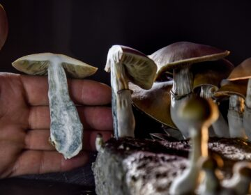 A DC resident has an operation growing psilocybin mushrooms. With the legalization of marijuana advocates in several states including Oregon have pushed the legalization of other drugs such as 'magic mushrooms'. (Photo by Jahi Chikwendiu/The Washington Post via Getty Images)