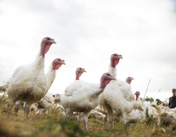 Broad Breasted White turkeys roam their open-air enclosure on the Shenk Family Farm in Newport, N.C. Smaller turkeys are in demand this Thanksgiving as many families plan on staying home rather than attending large gatherings. (Madeline Gray for NPR)