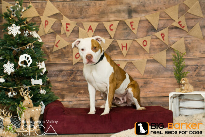Agatha the dog sits on a Barker Bed next to a Christmas tree