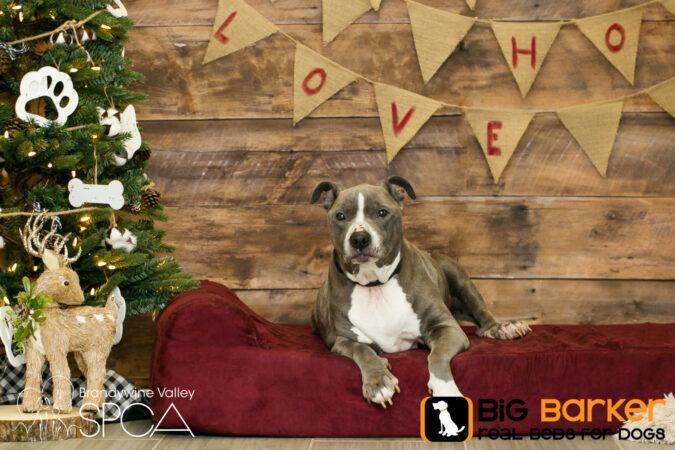 Bluebell the dog lounges on a Barker Bed next to a Christmas tree