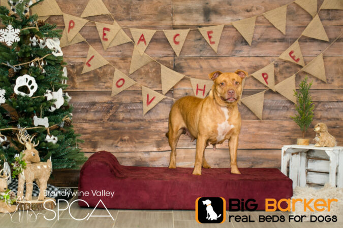 Erie the dog stands on a Barker Bed next to a Christmas tree