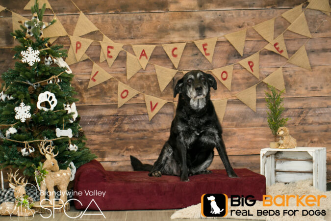 Frank the dog sits on a Barker Bed next to a Christmas tree