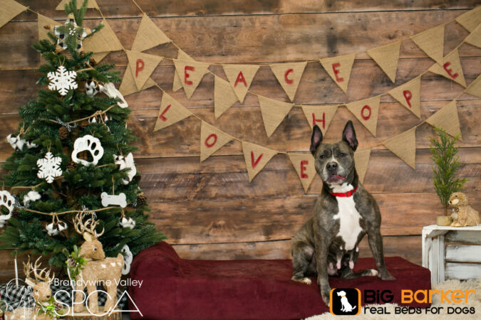 Kairi the dog sits on a Barker Bed next to a Christmas tree