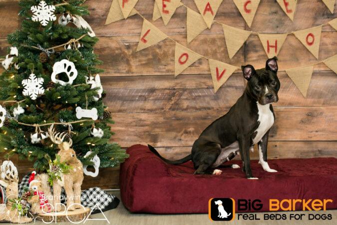 Ladybug the dog sits on a Barker Bed next to a Christmas tree