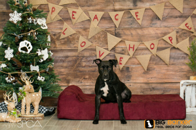 Pepper the dog sits on a Barker Bed next to a Christmas tree