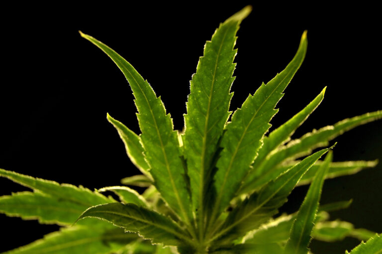 In this March 22, 2019, file photo, a marijuana plant grows at the Compassionate Care Foundation's grow house in Egg Harbor Township, N.J. (AP Photo/Julio Cortez)
