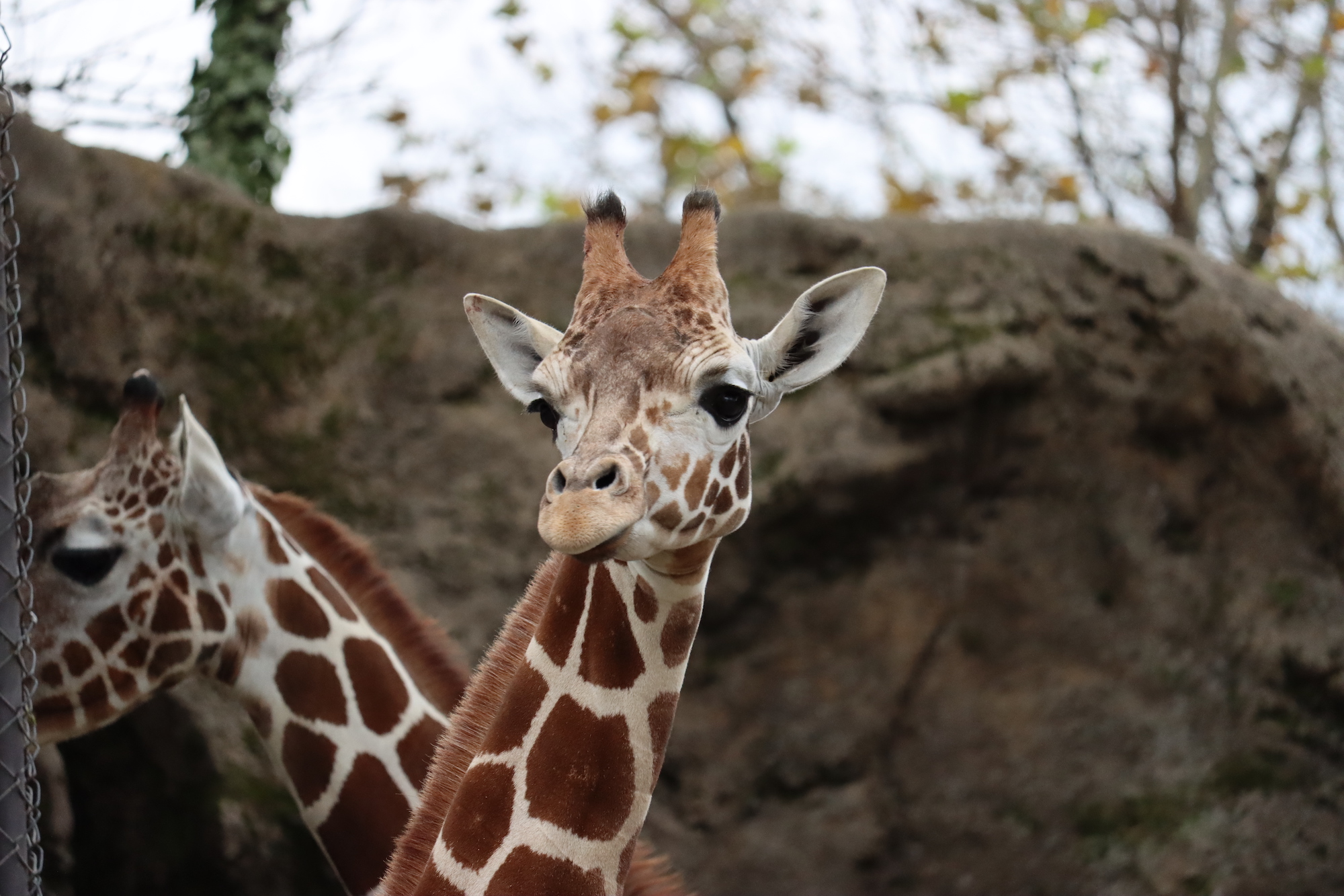 Bea, a 15-month-old female giraffe, is pictured at the Philadelphia Zoo.
