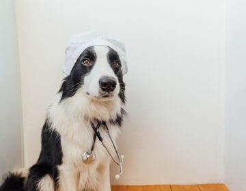 A border collie dog with a stethoscope and dressed in doctor costume