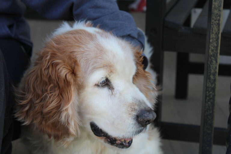 Emma, a Welsh Springer Spaniel. Bidding a beloved animal farewell is hard. Knowing when it's time can be even harder.  (Courtesy of Grant Hill)