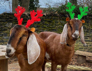 Two festive goats hang out at Awbury Arboretum
