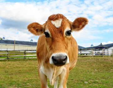 Crouton the steer