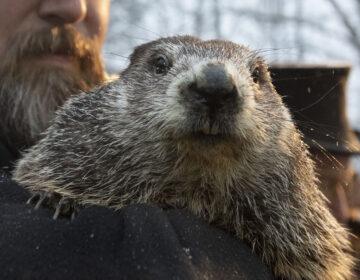 Groundhog Club co-handler Al Dereume holds Punxsutawney Phil