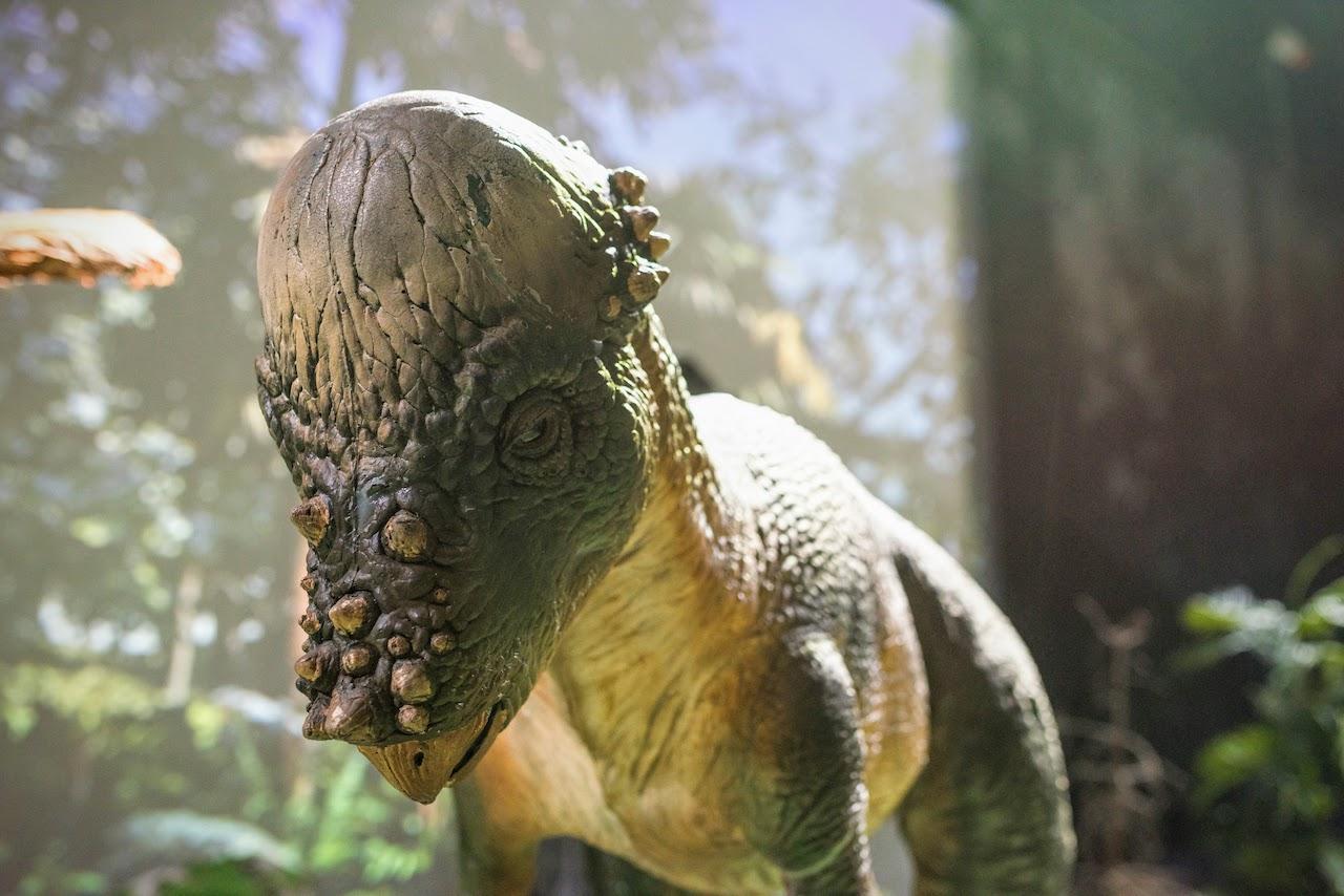 An animatronic Pachycephalosaurus