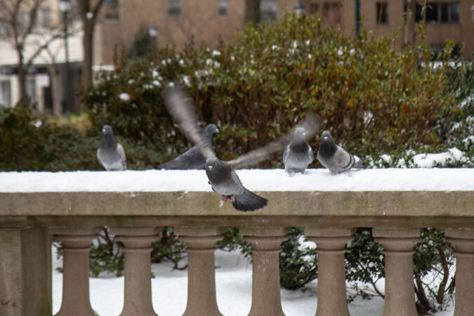 Pigeons revel in the snow at Rittenhouse Square