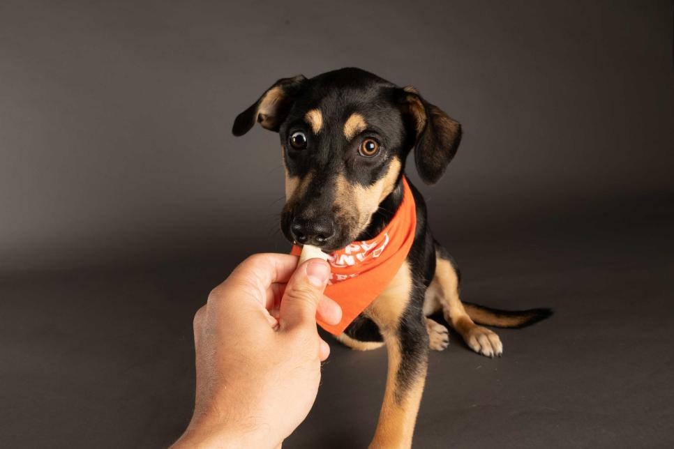 Puppy Eclipse snags a treat from a human's hand while wearing a Team Ruff bandana