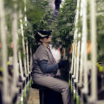 Heather Randazzo, a grow employee at Compassionate Care Foundation's medical marijuana dispensary, trims leaves off marijuana plants in the company's grow house, Friday, March 22, 2019, in Egg Harbor Township, N.J. (AP Photo/Julio Cortez)