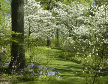 A path of dogwoods at Mt. Cuba Center Botanical Gardens